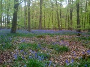 Beech Woods & Bluebells - a Classic British Woodland Scene
