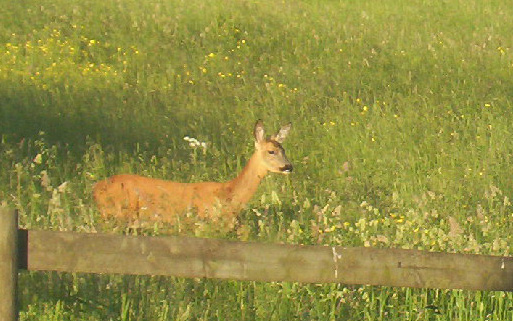 Roe Deer hind in the meadow